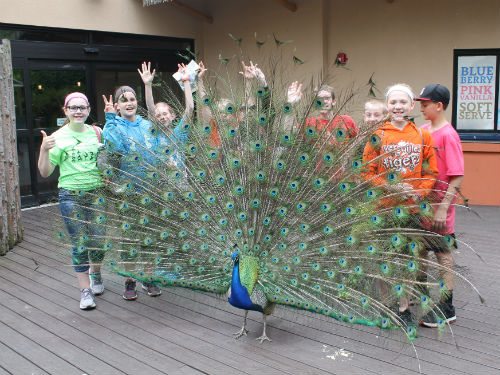 Pretty Peacock at the Cincinnati Zoo poses with students